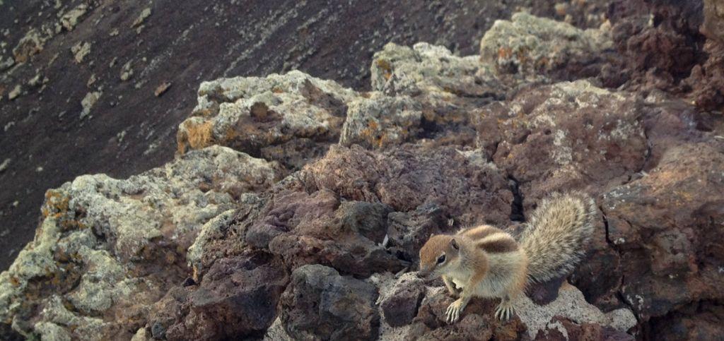Streifenhörnchen Fuerteventura